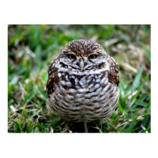 Burrowing Owl. Postcard