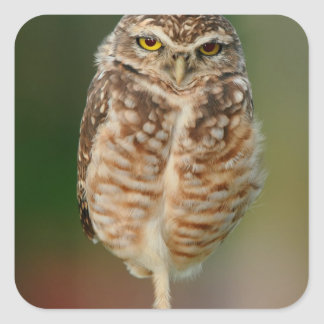 Burrowing Owl standing on one leg Square Sticker