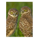 Burrowing owls are a popular site on Marco 2 Postcard