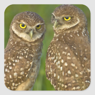 Burrowing owls are a popular site on Marco 2 Square Sticker
