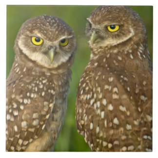 Burrowing owls are a popular site on Marco 2 Tile