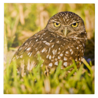 Burrowing owls are a popular site on Marco 3 Ceramic Tile
