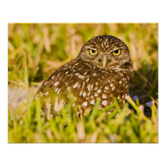 Burrowing owls are a popular site on Marco 3 Poster