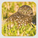 Burrowing owls are a popular site on Marco 3 Square Sticker