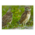 Burrowing owls are a popular site on Marco 4 Postcard