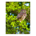 Burrowing owls are a popular site on Marco Postcard