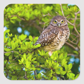 Burrowing owls are a popular site on Marco Square Sticker