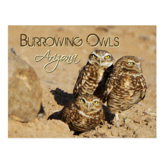 Burrowing owls Arizona Postcard