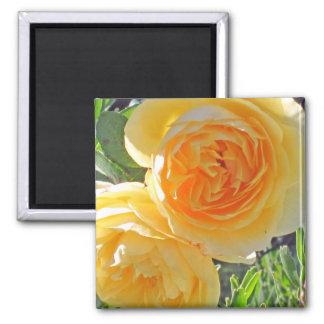 bursting yellow rose magnet