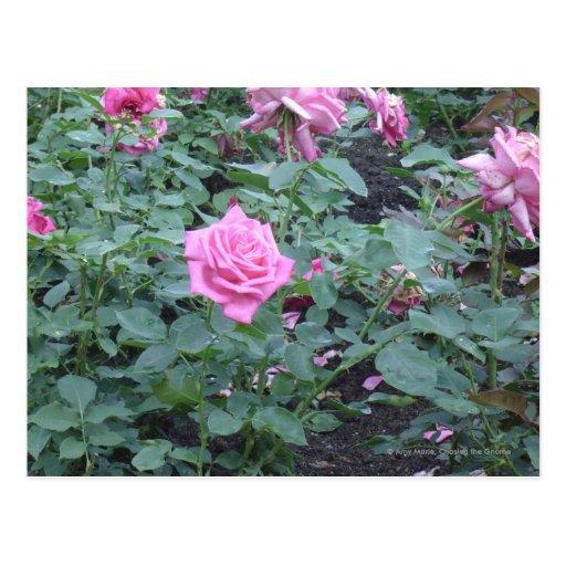 Bush color de rosa rosado postal
