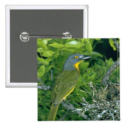 Bush Greyheaded Shrike Pins