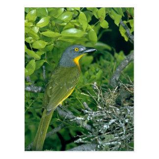 Bush Greyheaded Shrike Postal