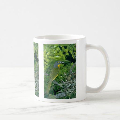 Bush Greyheaded Shrike Taza