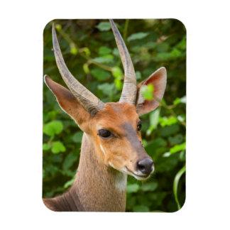 Bushbuck (Tragelaphus Scriptus), Kruger National 2 Rectangular Photo Magnet