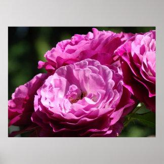 Business Art Rose Purple Pink 1 Roses Rose Garden Poster