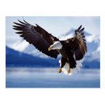 Búsqueda de Eagle calvo Tarjetas Postales