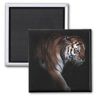 Búsqueda de los tigres imán cuadrado