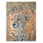 Búsquedas surafricanas del guepardo para la comida libros de apuntes