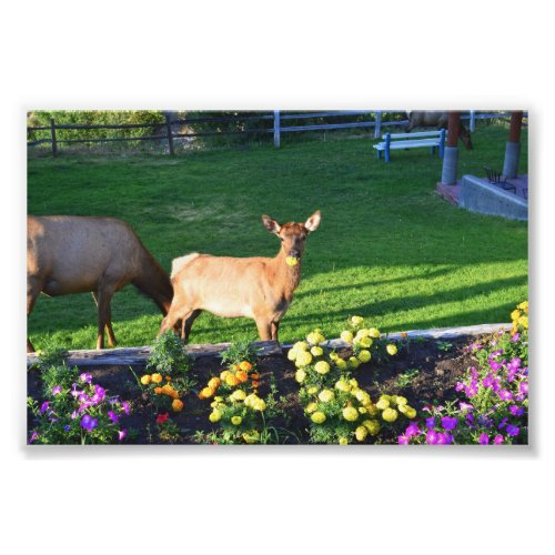 Busted -- an Elk Calf With a Marigold Photo Print