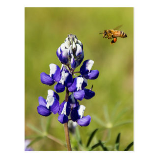 Busy Bee Contemplating a Wild Lupin Flower Postcard
