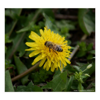 Busy little Spring Honeybee on a Yellow Dandilion Print