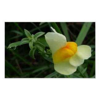 Butter and Eggs Flower with Dewdrop Poster