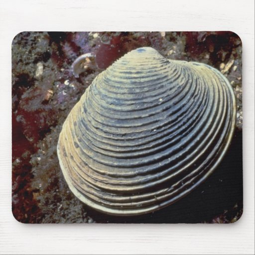 Butter clam (Saxidomus giganteus) Shell Mouse Pad