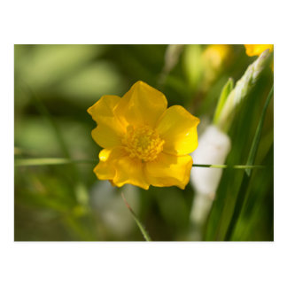 Buttercup Flower Postcard