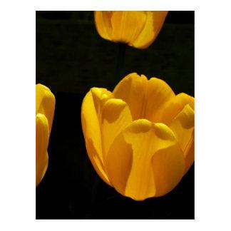 Buttercup Tulips Postcard