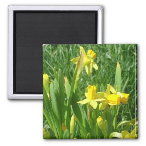 Buttercup Yellow Daffodils Magnet