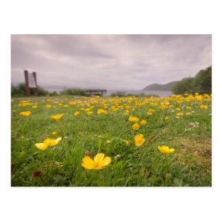 Buttercups in Scotland Postcard
