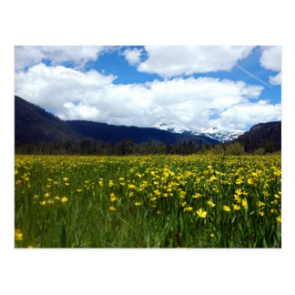 Buttercups Near Mount Lassen, Northern California Postcard