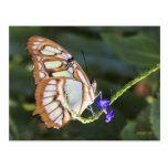 Butterflies 483 post card