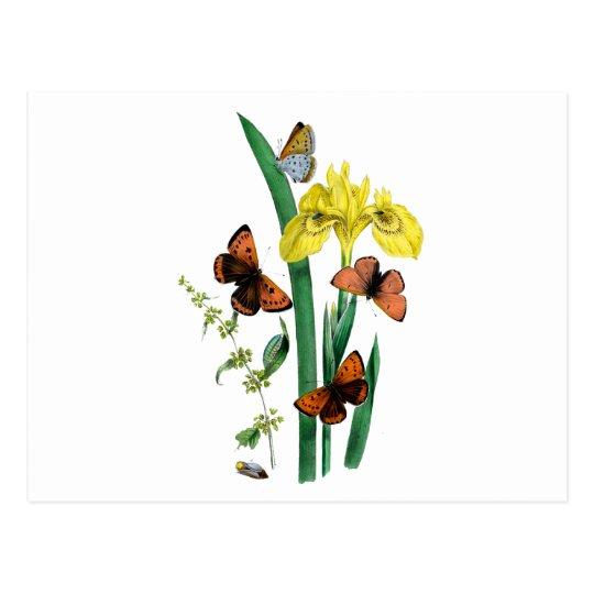 Butterflies and Yellow Iris Postcard