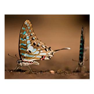 Butterflies Drinking Water, Close-Up, Punda Postcard