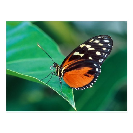 butterflies golden helicon postcards