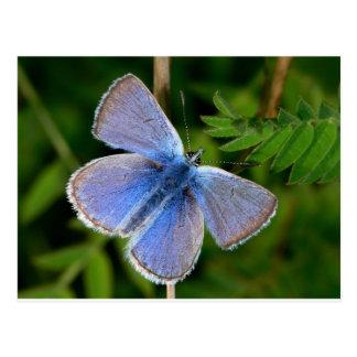 butterflies hairy blue mist postcard