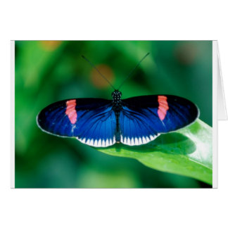 butterflies heliconius erato card
