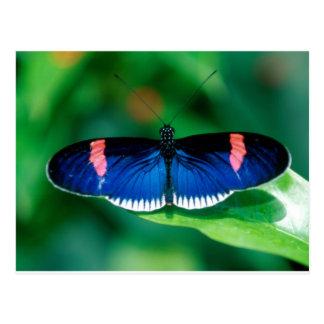 butterflies heliconius erato postcard