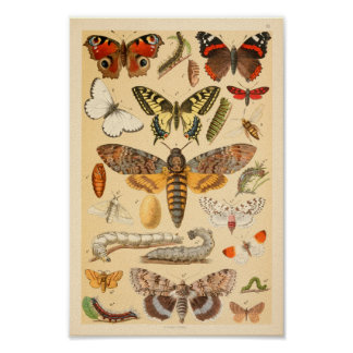 Butterflies Moths Caterpillar Collection Art Print