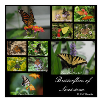 Butterflies of Louisiana Poster