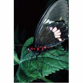 Butterfly, Anartia amathea Acrylic Cut Out