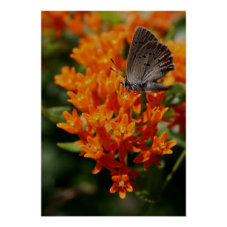 Butterfly and Orange Flowers Poster