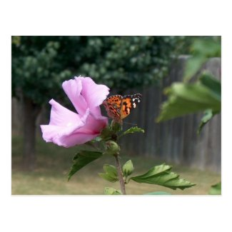 Butterfly and Rose of Sharon Postcard