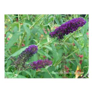 Butterfly Bush Buddleja Davidii Floral Postcard