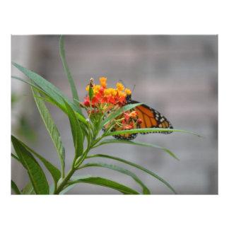 "butterfly bush monarch behind . 8.5"" x 11"" flyer"