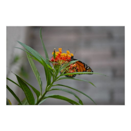 butterfly bush monarch behind . posters