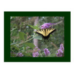 Butterfly Bush with butterfly Postcard