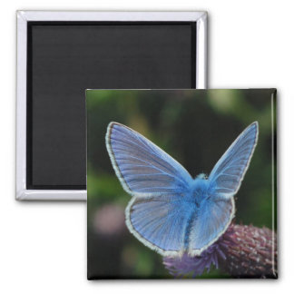 Butterfly Common Blue on thistle magnet