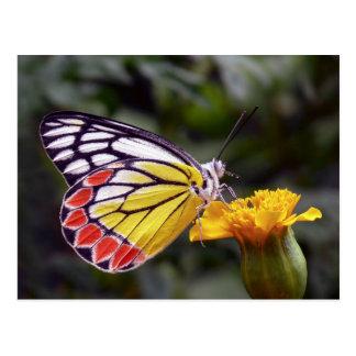 Butterfly, Common Jezebel macro photo Postcard